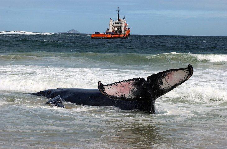 BRA01-RÍO DE JANEIRO-(BRASIL)-09/08/04-Una ballena de casi 10 toneladas encalló ayer, domingo, 8 de agosto en una playa frente a Río de Janeiro, en la boca de la Bahía de Guanabara. Los bomberos intentan hoy, lunes, liberar al cetáceo, remolcándolo desde la playa hacia agua profundas. EFE/ Antonio Lacerda