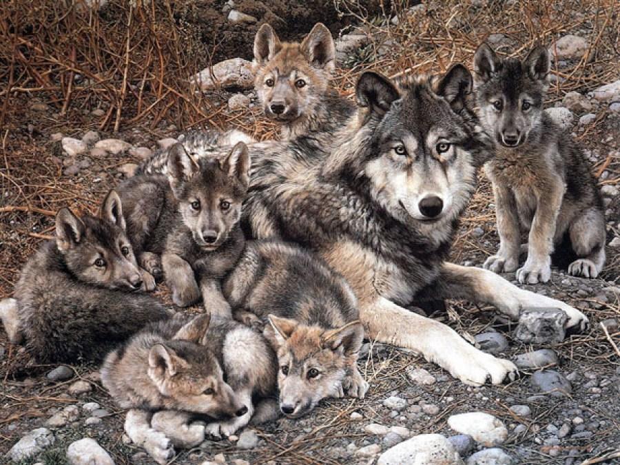 Rehabilitación Del Lobo Gris En Proceso: El Lobo Gris Mexicano Está Fuera De Peligro De Extinción