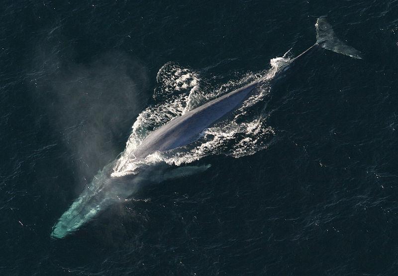Por primera vez se graba la frecuencia cardíaca de una ballena azul: un trabajo al límite dos latidos por minuto