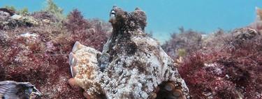 Octlantis, la ciudad subactuática de pulpos recién descubierta